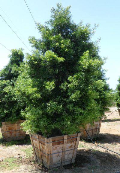 Podocarpus gracilior - Fern Podocarpus (36 Box)