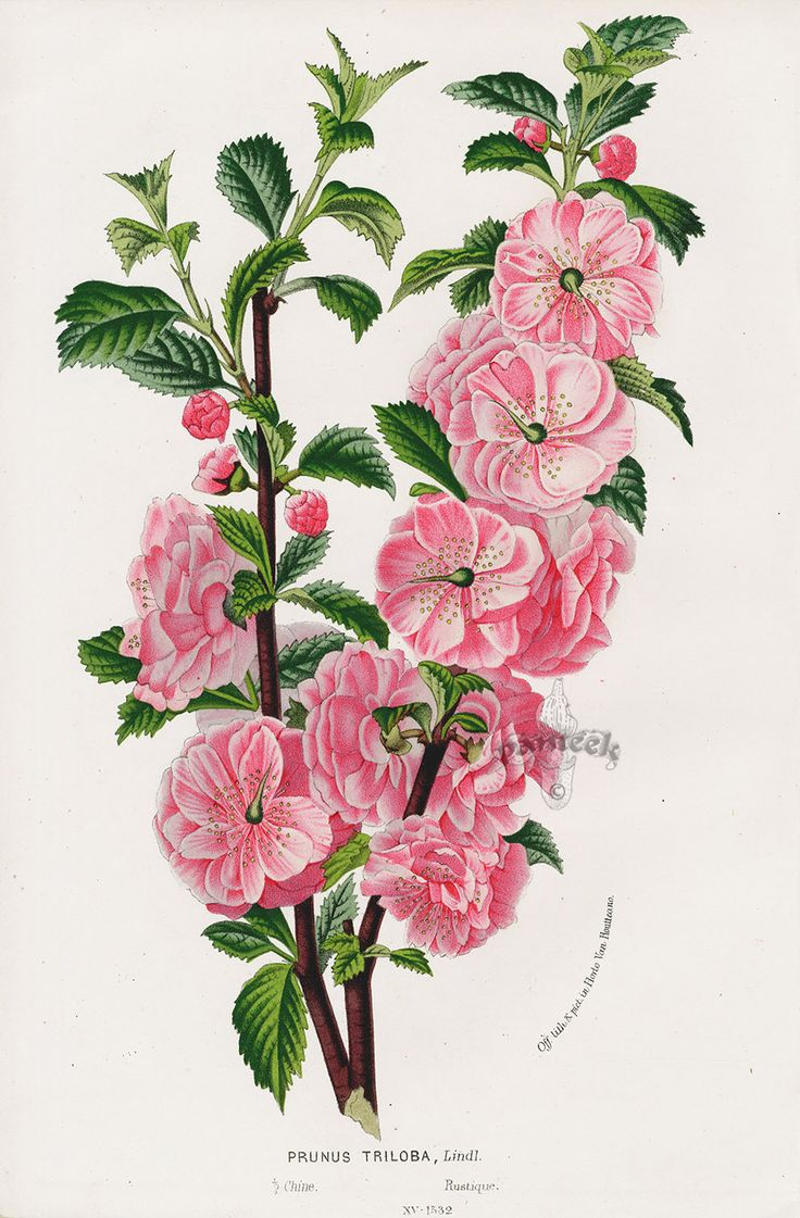 prunus triloba from floral prints of roses violet peach passion flower from van