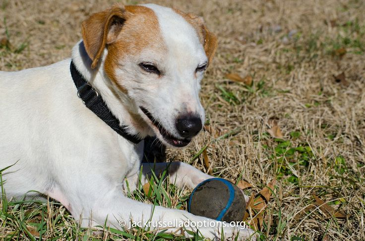 Adoptable Jack Russell Terrier, Kennedy, Georgia Jack Russell Adoptions | Georgia Jack Russell Rescue, Adoption and Sanctuary
