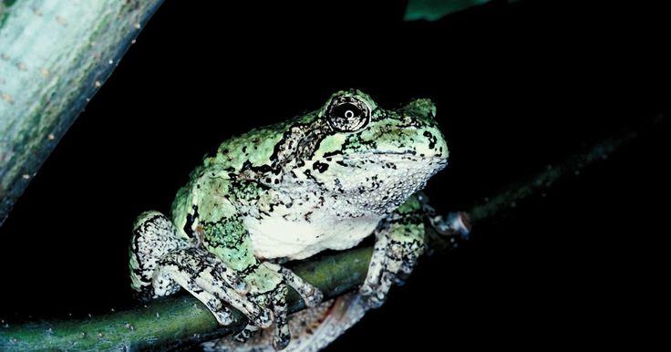 Formas de respiración de los anfibios. Los anfibios son animales de sangre fría con la piel totalmente libre de pelos, de escamas o de plumas. Estos animales son conocidos por su ciclo de vida de dos etapas, donde la forma de larva y la posterior etapa de adulto son muy diferentes y, a menudo, se dan en ambientes completamente diferentes. Debido a este singular ciclo de vida, los ...