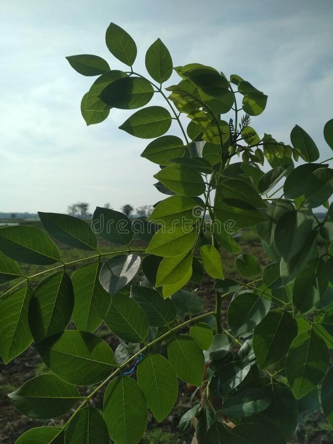 Green Robinia Pseudoacacia False Acacia Or Black Locust Plant