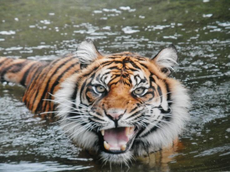 Zoo Frankfurt/GermanyZoos Frankfurt Germany, Zoos Frankfurtgermani,  Panthera Tigri, Tigers