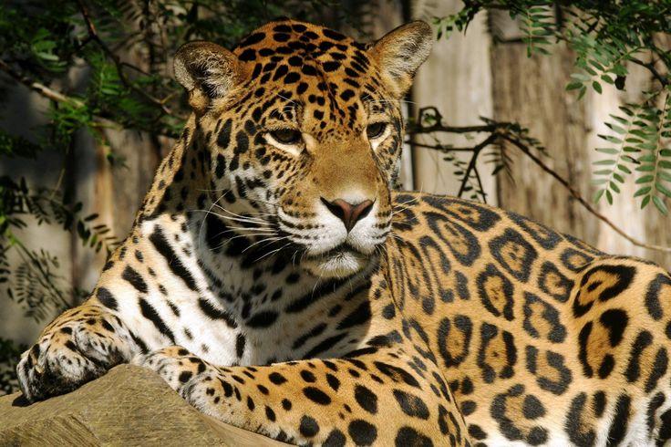 Náš symbol je i živý! Adoptovali jsme jaguára amerického jménem Inti ze ZOO Olomouc. Je to šestiletá nevybíravá mlska a máme ji rádi.