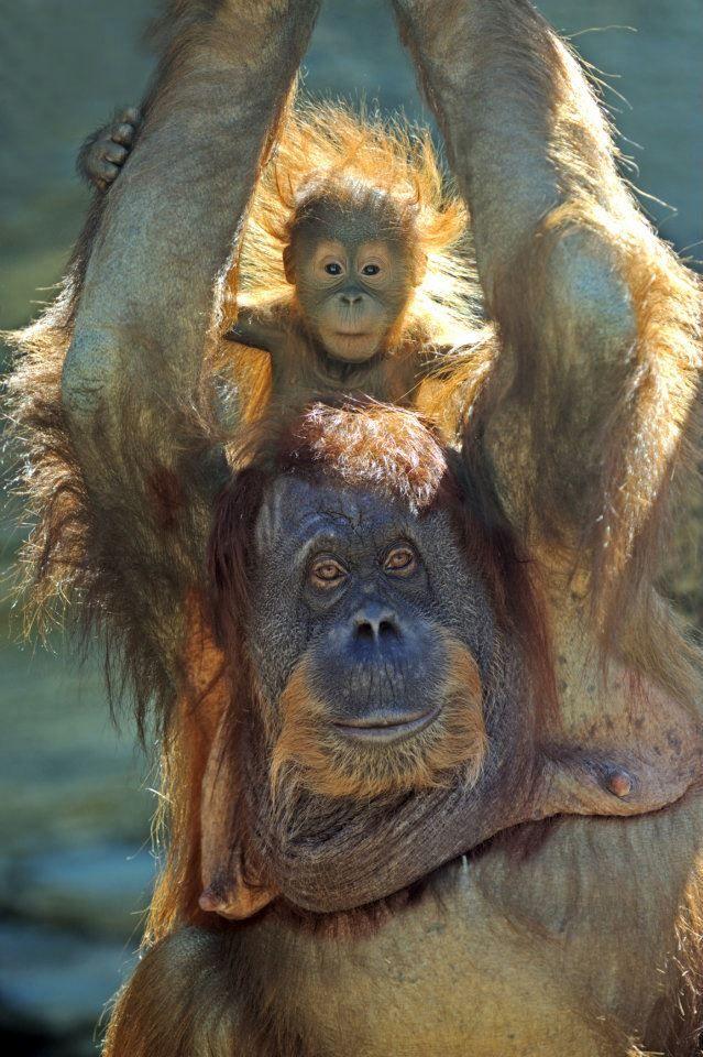 Orangutan. Mans gluttony for palm oil is destroying their habitat. Please avoid funding this industry!
