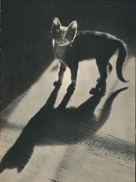 From the book Sam by Edward Quigley (photographs) and John Crawford (text), 1937. Via janwillemsen on Flickr.: Felin Photography, Photographers Camera, Lady Cat, Crawford Texts, Books Sam, Old Timey Cat, Archives Categori, Vintage Cat, Quigley Photographers