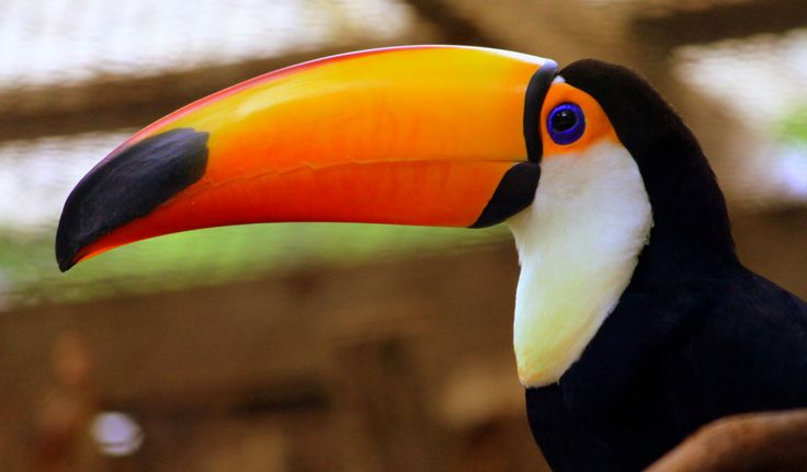 The Toco Toucan 'Ramphastos toco' is the most well known and largest member of the toucan family and is commonly found in zoos. Toco Toucans live in South American rainforests and Cerrado savannah. They are native to: Argentina, Bolivia, Brazil, Guyana, Paraguay, Peru and Suriname. There are 37 species of Toco Toucans ranging from Mexico to Argentina. Toco Toucan Characteristics Toco Toucans have striking plumage with a black body, white …