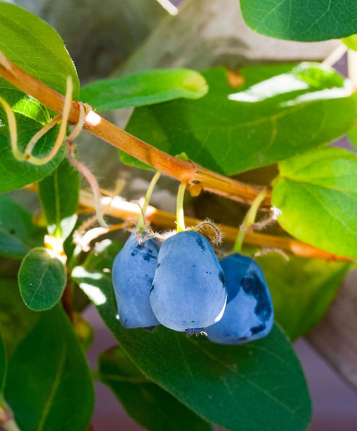 Honeyberry (Lonicera Kamtschatica) have dark blue berries that have a pleasant, refreshing, acid-sweet flavour.