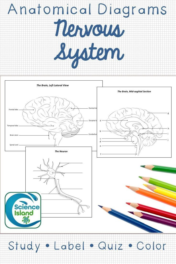 nervous system diagrams and quizzes awesome biology resources pinterest nervous system biology and neuron diagram [ 736 x 1104 Pixel ]