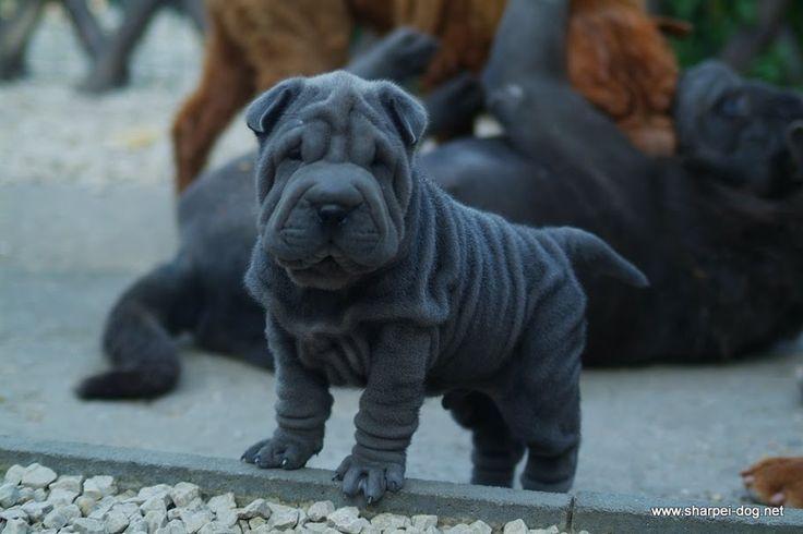 Blue shar pei puppies - Qi Ming Xing shar pei kennel - Picasa Web Albums
