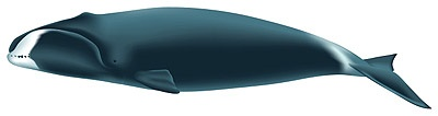 The beautifiul bowhead whale, Balaena mysticetus is also known as the Greenland right whale and is a filter feeder. It is best known for its massive head which measures 1/3 of the body length. I wonder what it thinks about. Thanks to @Evan Sharp #Bowhead_Whale #Marine_Biology