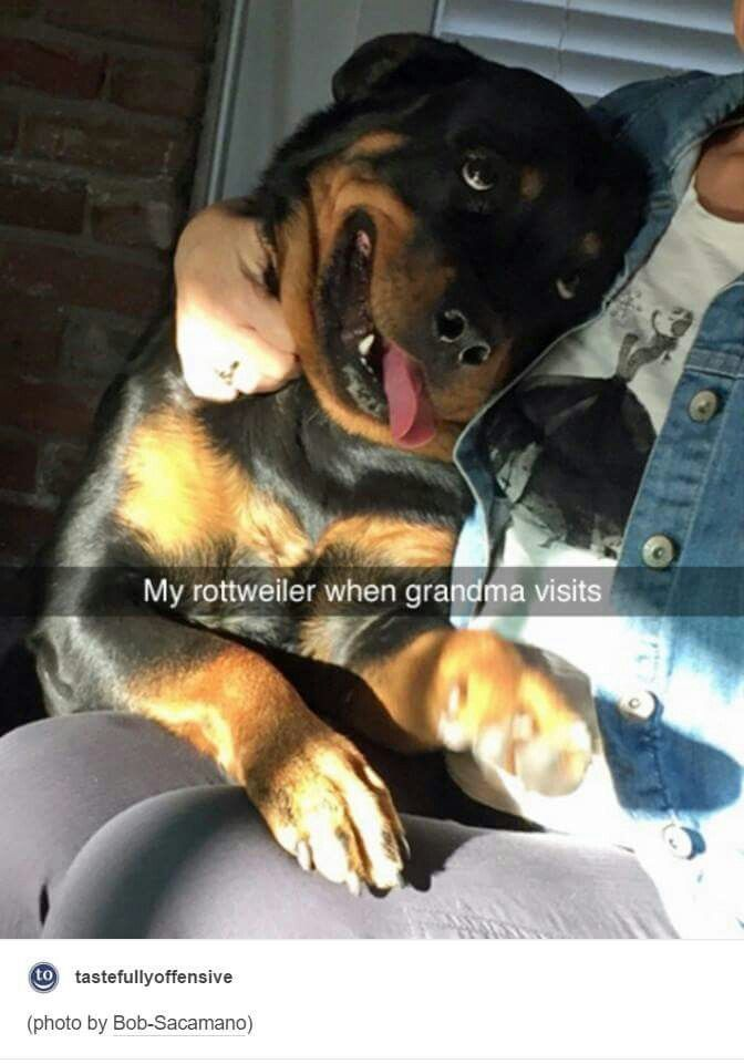 cute and funny rottweiler