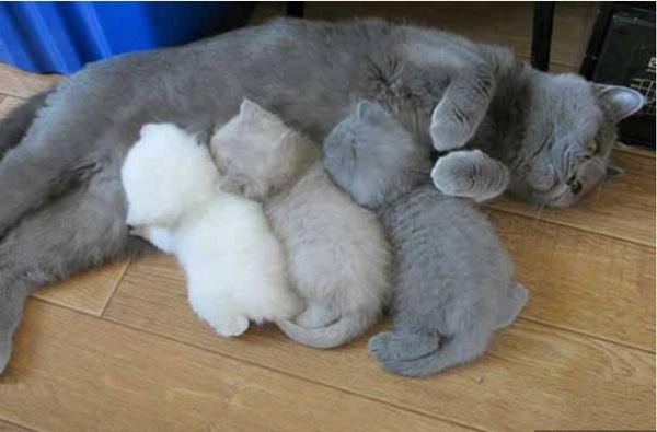 Anne Kedilerin Yavrularıyla Çekilmiş Muhteşem Fotoğrafları... - 18. Sayfa