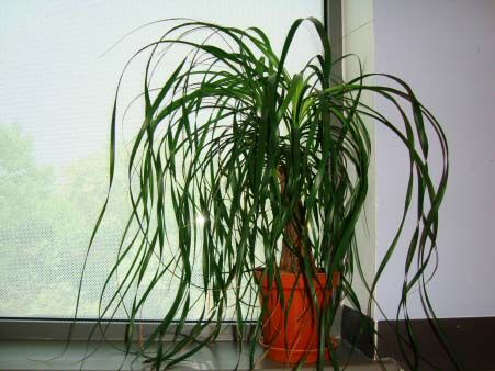 17 best house plants images on pinterest indoor house for Ponytail palm cats
