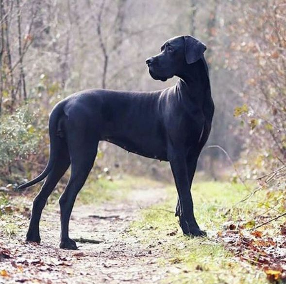 """""""Fabelle is looking stunning as always ♥♥♥ Photo shared by @greatdanephotography"""" #GreatDane"""