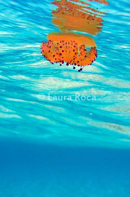 Leggi tutto -> http://www.imascubadiver.com/it/236-Blog/38-post-Le%20meduse:%20antichi%20e%20straordinari%20animali%20facenti%20parte%20del%20plancton.html #biologiamarina #biologia #mare #immersioni #subacquea #scubadiver #fotosub #fotografiasubacquea #conosceremare