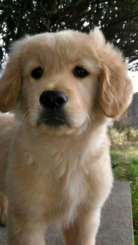beautiful Golden Retriever pup <3