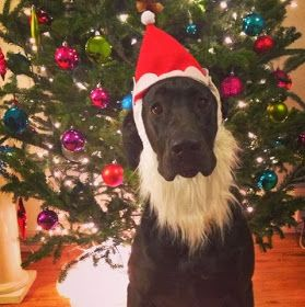 Remi is the definition of Bad Santa. Great Dane puppy!