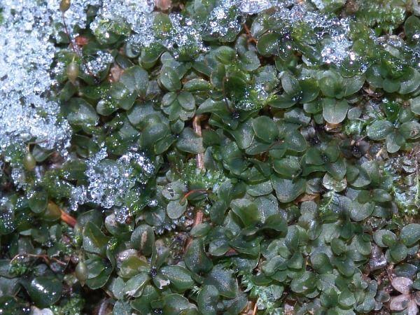 Rhizomnium punctatum - měřík tečkovaný Měřík tečkovaný je dvoudomý mech, dorůstá výšky až 6 cm, sytě zelený s četnými výběžky, tvoří souvislé porosty. Tělo tvoří stélka, která se rozlišuje na lodyžku, lístky a příchytná vlákna rhizoidy.
