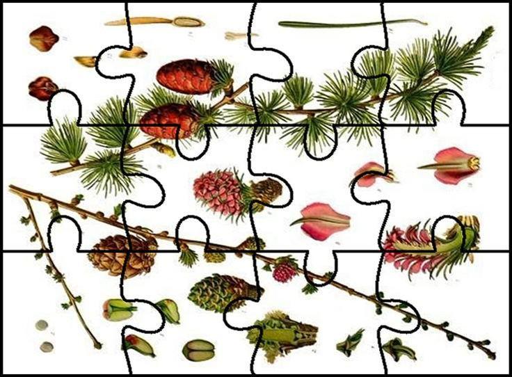 jehličnaté stromy - puzzle