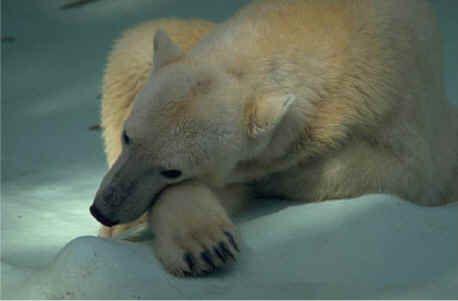 Polar Bears - 3rd grade Critical Literacy - Informational Text