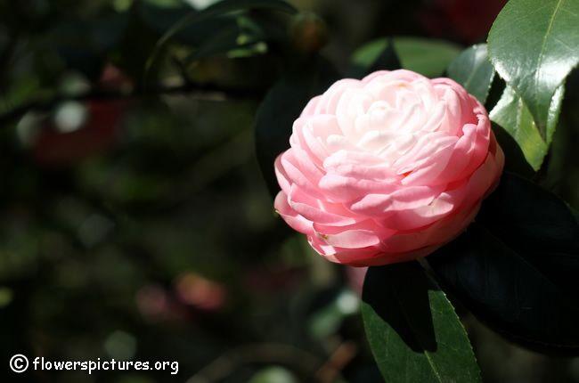 Pink camellia flower (55)