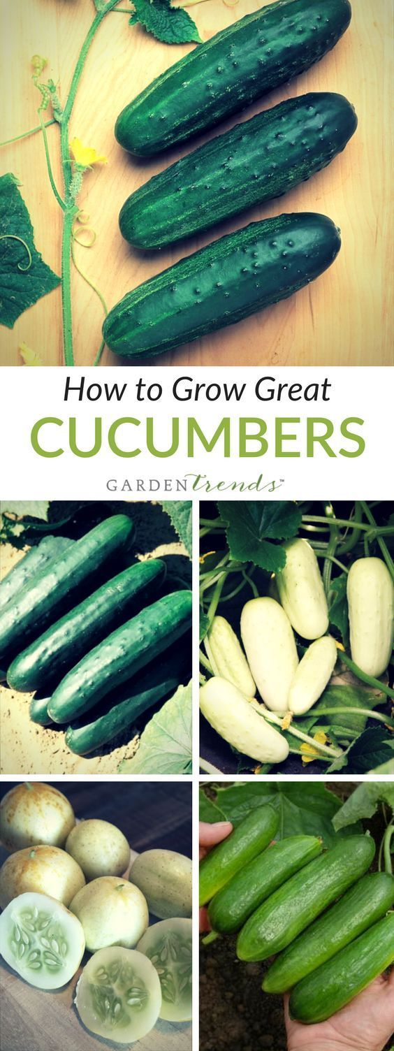 Cucumbers are a warm weather crop, very sensitive to frost. In the Northeast, plant slicers from late May to mid-June and pickles up to mid-July. If planting earlier in cooler weather, protect plants with row covers or plastic tunnels. Pick fruit regularly for a continuous yield.
