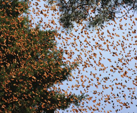 The Incredible Migration of The Monarch Butterfly: A Regal Journey | Scienceray