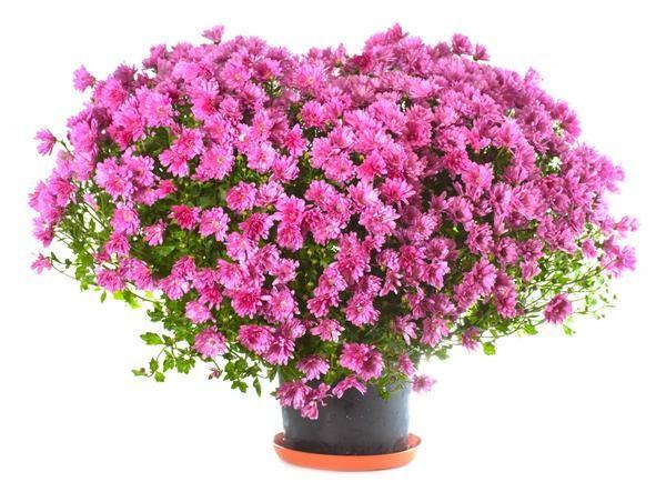 цветы в горшке в подарок