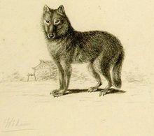 "Japanese Wolf ""Canis lupus hodophilax"""