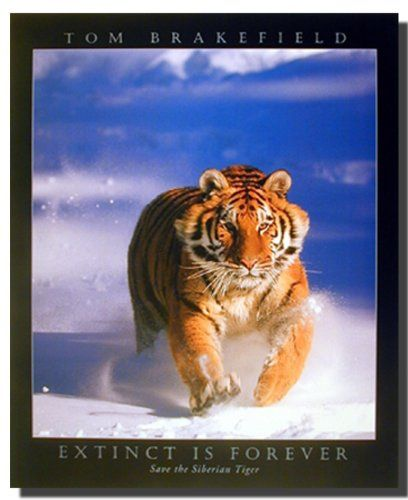 Your love for animals can now be seen on the walls of your house with this hauntingly beautiful Siberian Tiger animal art print poster. This poster captures the image of a Siberian Tiger running in his glory in a snow field is definitely a classy addition in your room decor. Discover the uniqueness of this poster and Order today for its durable quality and excellent color accuracy.