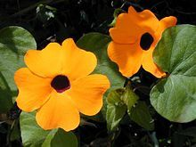 Thunbergia alata.  Thunbergia alata has a vine habit, and can grow to a height of 6–8 ft (1.8-2.4 m) in tropical zones, or much less as a container plant or as an annual. The flowers have five petals and appear throughout the growing season. They typically are warm orange with a characteristic dark spot in the centre, although different varieties can be red, orange, red-orange, white, pale yellow, or bright yellow, with or without the characteristic chocolate-purple centre.