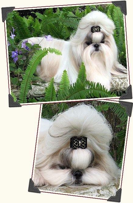 Shih Tzu Kids Shih Tzus Pinterest Dog