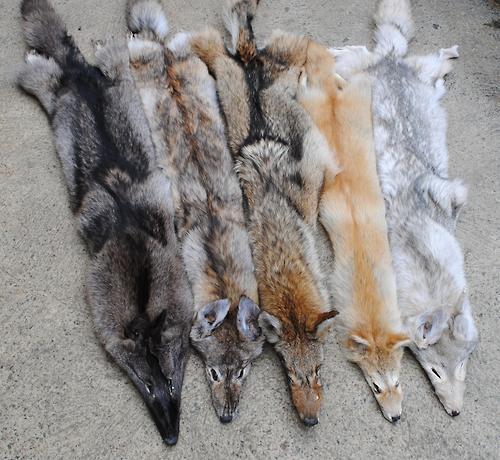 Coyote pelt colours