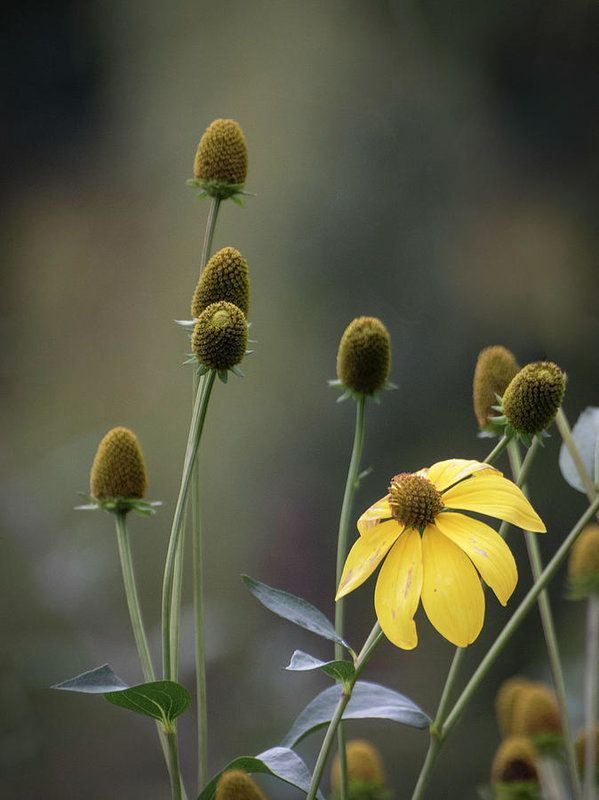 Art prints for sale.  Brown Eyed Susan flowers in autumn.