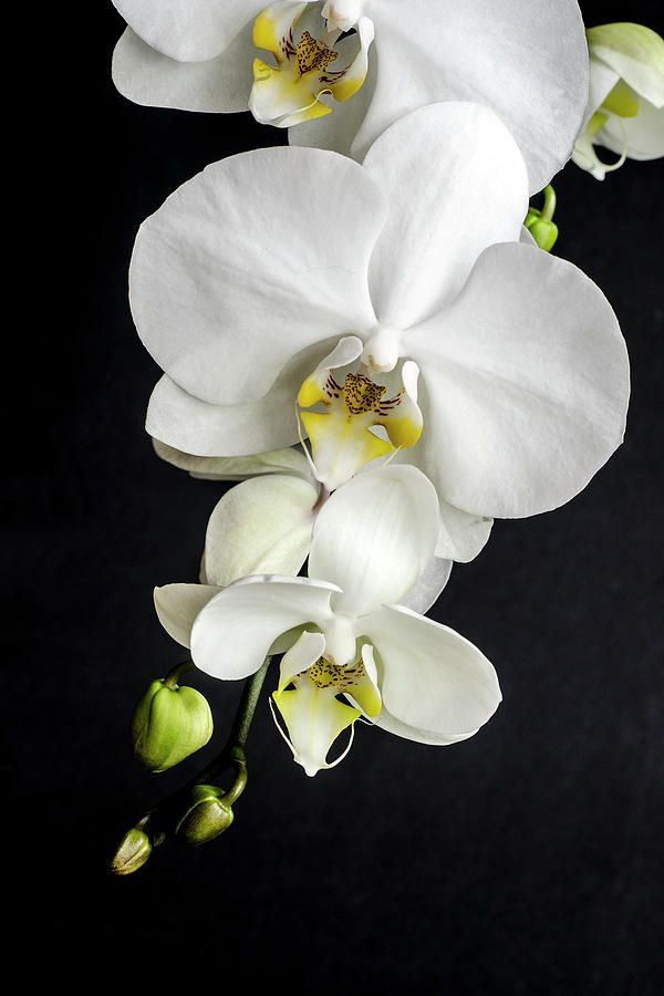 Orchids Photograph Orchid 4 By Craig Royal Orchids Painting Orchid Wallpaper Orchid Photography Fantastic orchid flower wallpaper