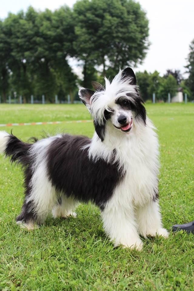 865 Best Its All About The Chinese Crested Hl Pp Images On