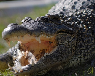 "Go alligator hunting (""choot 'em"")"