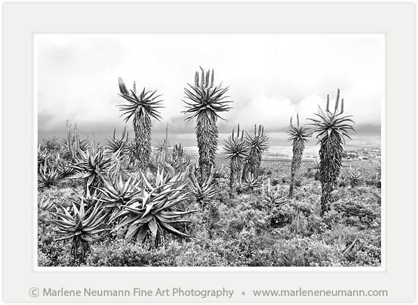 ALOE ELDERS...an image that for me is mind blowing. This is one of the images that showed itself to me...I stand in gratitude for being privileged to photograph these beautiful beings...never take anything for granted. Not even your breathing...be mindful today and spend a day being grateful....Love Marlene