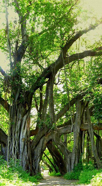 A huge banyan tree in University of Pune