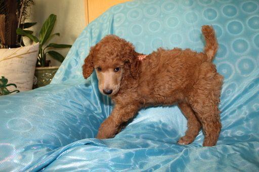 Litter of 2 Poodle (Standard) puppies for sale in SHERIDAN, CA. ADN-56781 on PuppyFinder.com Gender: Female. Age: 7 Weeks Old