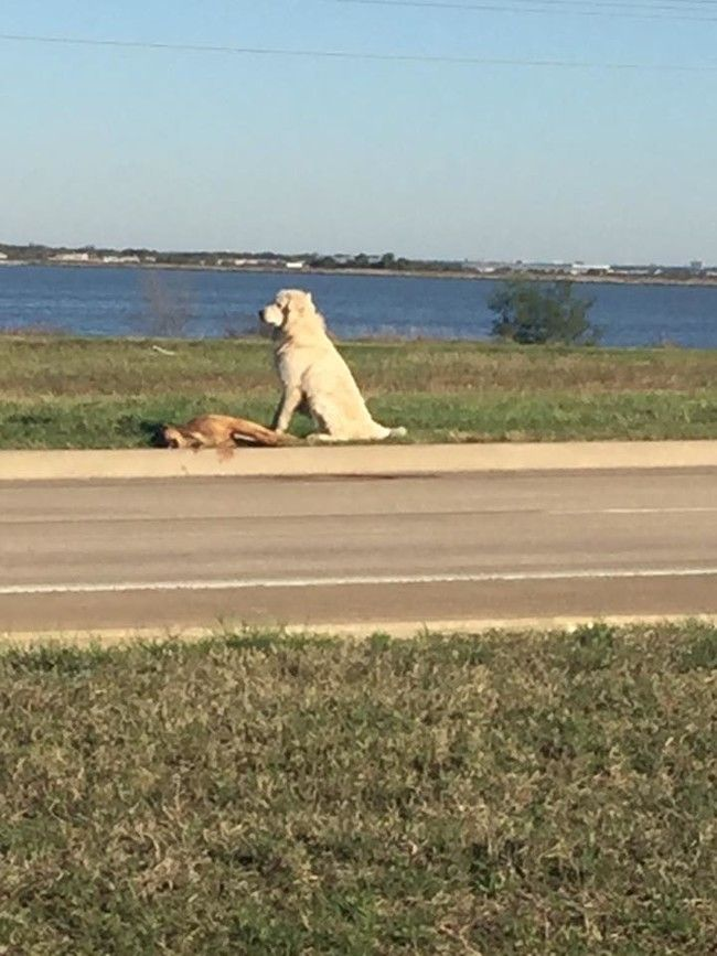 Staying with his friend who appeared to have been hit by a car, this loyal dog not only provided comfort but also dragged him off the road away from further harm.