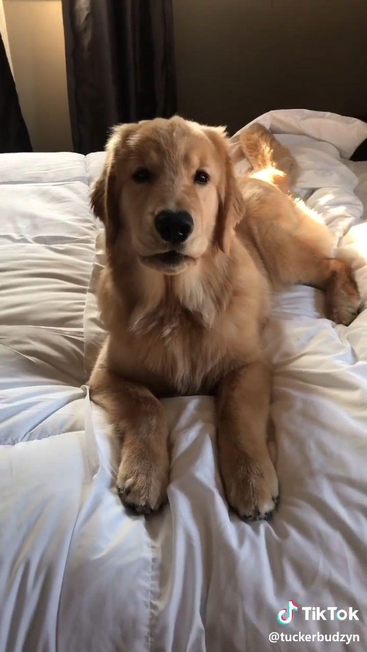 Golden Retriever In 2020 Golden Retriever Funny Cute Funny Dogs Golden Retriever Gif