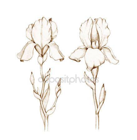 tekeningen bloem iris pinterest | Potlood tekening van iris bloemen geïsoleerd op witte achtergrond ...
