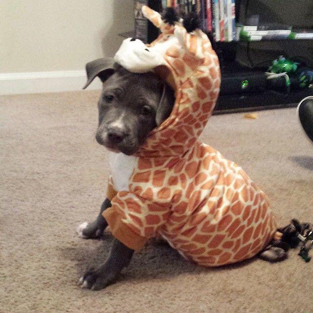 Best 25+ Pitbull costumes ideas on Pinterest   Funny ...