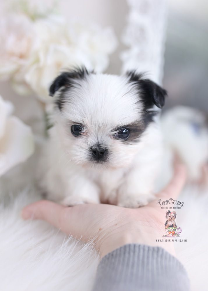 Tiny Shih Tzu Puppy For Sale Teacup Puppies 050 B In 2020 Cute Puppies Shih Tzu Puppy Pomeranian Puppy For Sale