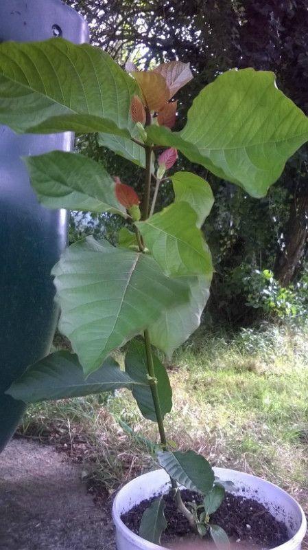 Kratom 'Rifat strain' plant Listing in the Tropicals,Plants, Trees & Seeds,Garden, Yard & Plants,Home & Garden Category on eBid United Kingdom
