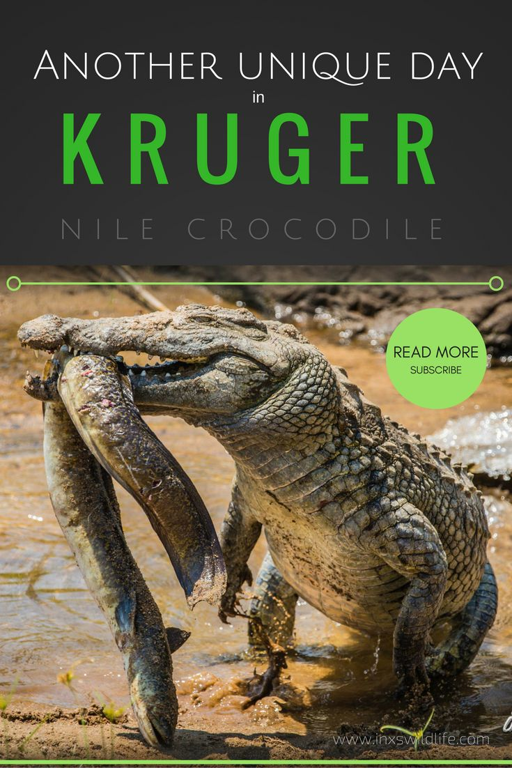 A Nile Crocodile caught a fresh water eel in the Sabie River, Kruger National Park, South Africa. Read how this happened and see the photos & video on our blog. Remember to subscribe! ;)