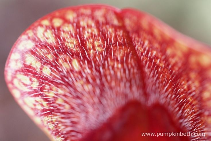 A close up of the red veining of a Sarracenia.