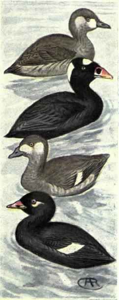 Image result for White-winged Scoter