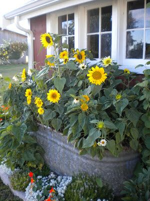 Sunflower planting ideas. Love the galvanized tub!